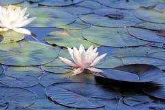 Λίμνη κρίνων νερού ως ταπετσαρία Στοκ εικόνες με δικαίωμα ελεύθερης χρήσης