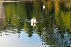 Λίμνη κύκνων Στοκ Φωτογραφία