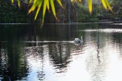 Λίμνη κύκνων Στοκ φωτογραφία με δικαίωμα ελεύθερης χρήσης