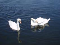 Λίμνη κύκνων Στοκ Εικόνα
