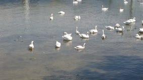 Λίμνη κύκνων Στοκ εικόνες με δικαίωμα ελεύθερης χρήσης