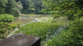 Λίμνη λιμνών εργοστασίων νερού whitelily στοκ εικόνες