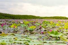 Λίμνη λουλουδιών Lotus σε Phatthalung, Ταϊλάνδη Στοκ Εικόνες