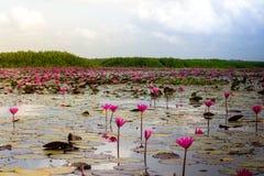 Λίμνη λουλουδιών Lotus σε Phatthalung, Ταϊλάνδη Στοκ Φωτογραφίες