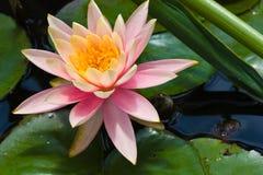 λίμνη λωτού 2 λουλουδιών Στοκ φωτογραφίες με δικαίωμα ελεύθερης χρήσης