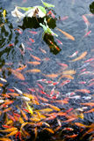λίμνη λωτού koi Στοκ φωτογραφία με δικαίωμα ελεύθερης χρήσης
