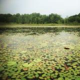 Λίμνη μαξιλαριών κρίνων coverd Στοκ εικόνα με δικαίωμα ελεύθερης χρήσης
