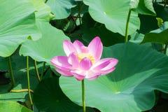 Λίμνη με την άνθιση lotuses Στοκ φωτογραφίες με δικαίωμα ελεύθερης χρήσης