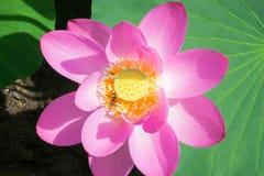 Λίμνη με την άνθιση lotuses Στοκ Εικόνες