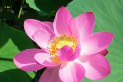 Λίμνη με την άνθιση lotuses Στοκ Φωτογραφίες