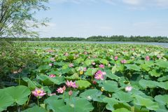 Λίμνη με την άνθιση lotuses Στοκ Φωτογραφία