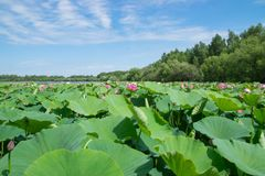 Λίμνη με την άνθιση lotuses Στοκ Εικόνα