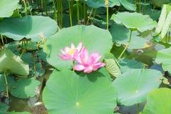 Λίμνη με την άνθιση lotuses Στοκ εικόνες με δικαίωμα ελεύθερης χρήσης