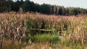 Λίμνη με το δάσος φθινοπώρου καλάμων απόθεμα βίντεο