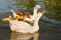 λίμνη οικογενειακών χήνων Στοκ εικόνες με δικαίωμα ελεύθερης χρήσης