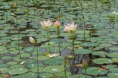 Λίμνη λουλουδιών Lotus Στοκ εικόνες με δικαίωμα ελεύθερης χρήσης