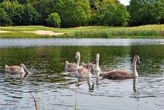 λίμνη πέντε sygnets Στοκ φωτογραφίες με δικαίωμα ελεύθερης χρήσης