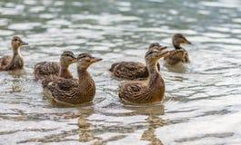 λίμνη παπιών Η μικρή και νέα πάπια περιμένει τα τρόφιμα από τους τουρίστες Χαριτωμένα και αστεία ζώα στοκ φωτογραφία με δικαίωμα ελεύθερης χρήσης