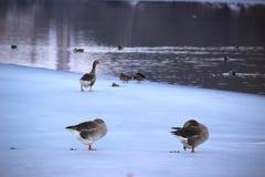 Λίμνη παπιών Winter Park Στοκ φωτογραφία με δικαίωμα ελεύθερης χρήσης