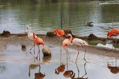 λίμνη φλαμίγκο πουλιών Στοκ Εικόνες
