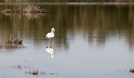 λίμνη φλαμίγκο πουλιών Στοκ φωτογραφίες με δικαίωμα ελεύθερης χρήσης
