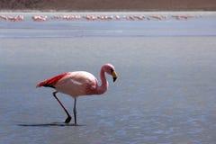 λίμνη φλαμίγκο της Βολιβί&al Στοκ Φωτογραφίες