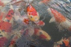 Λίμνη ψαριών Koi στοκ φωτογραφίες με δικαίωμα ελεύθερης χρήσης