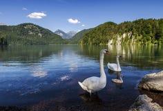 Λίμνη Alpsee και οικογένεια κύκνων σε Fussen, Βαυαρία, Γερμανία Στοκ Εικόνες