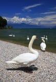 Λίμνη Garda, Ιταλία με τους κολυμπώντας κύκνους στοκ εικόνα με δικαίωμα ελεύθερης χρήσης