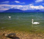 Λίμνη Garda, Ιταλία με τους κύκνους στοκ φωτογραφία με δικαίωμα ελεύθερης χρήσης