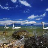 Λίμνη Garda με τους κολυμπώντας κύκνους στοκ εικόνα με δικαίωμα ελεύθερης χρήσης