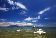 Λίμνη Garda με τους κολυμπώντας κύκνους στοκ φωτογραφίες με δικαίωμα ελεύθερης χρήσης