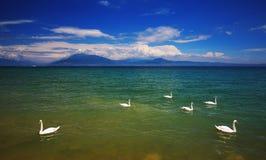 Λίμνη Garda με τους κολυμπώντας κύκνους στοκ εικόνες