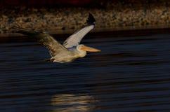 Λίμνη Kerkini Ελλάδα επιφύλαξης φύσης Στοκ Φωτογραφίες