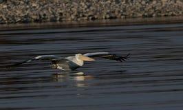 Λίμνη Kerkini Ελλάδα επιφύλαξης φύσης Στοκ Εικόνα