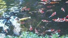 Λίμνη Koi στην Ιαπωνία με τα ψάρια koi, φανταχτερός κυπρίνος, που βλέπει άνωθεν με τις αντανακλάσεις απόθεμα βίντεο