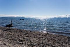 Λίμνη Taupo ο μαύρος Κύκνος Στοκ φωτογραφία με δικαίωμα ελεύθερης χρήσης