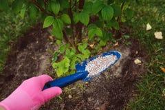 Λίπανση των εγκαταστάσεων κήπων το καλοκαίρι Στοκ Εικόνες