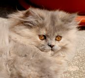 λίπος γατών στοκ εικόνες