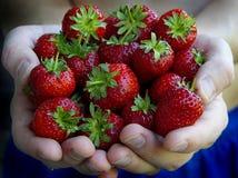 Λαβή ατόμων κοίλος των φραουλών χεριών Στοκ Εικόνες