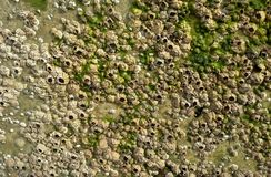 Λαβίδες βελανιδιών Στοκ φωτογραφία με δικαίωμα ελεύθερης χρήσης