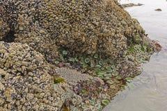 Λαβίδες, μαλάκια, και Anemones at Low Tide Στοκ εικόνα με δικαίωμα ελεύθερης χρήσης