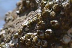 Λαβίδες σε έναν βράχο Στοκ Εικόνες