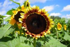 Λαβύρινθος ηλίανθων στα γλυκά αγροκτήματα τομέων σε Masaryktown, Φλώριδα στοκ εικόνες