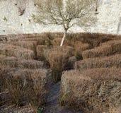 Λαβύρινθος με τους άφυλλους Μπους και ένα δέντρο Στοκ φωτογραφία με δικαίωμα ελεύθερης χρήσης