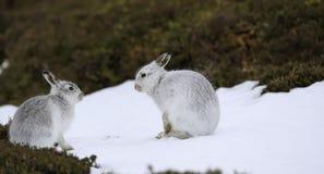 Λαγοί βουνών που έχουν μια φιλική συνομιλία Στοκ Φωτογραφίες