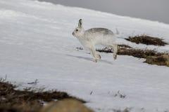Λαγοί βουνών, timidus Lepus, άγριο στην ομάδα και τρέξιμο στο χιόνι το χειμώνα, Φεβρουάριος στο εθνικό πάρκο cairngorms, Σκωτία Στοκ φωτογραφίες με δικαίωμα ελεύθερης χρήσης