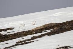 Λαγοί βουνών, timidus Lepus, άγριο στην ομάδα και τρέξιμο στο χιόνι το χειμώνα, Φεβρουάριος στο εθνικό πάρκο cairngorms, Σκωτία Στοκ Εικόνες