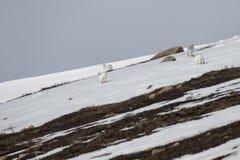 Λαγοί βουνών, timidus Lepus, άγριο στην ομάδα και τρέξιμο στο χιόνι το χειμώνα, Φεβρουάριος στο εθνικό πάρκο cairngorms, Σκωτία Στοκ Φωτογραφία