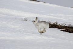 Λαγοί βουνών, timidus Lepus, άγριο στην ομάδα και τρέξιμο στο χιόνι το χειμώνα, Φεβρουάριος στο εθνικό πάρκο cairngorms, Σκωτία Στοκ φωτογραφία με δικαίωμα ελεύθερης χρήσης